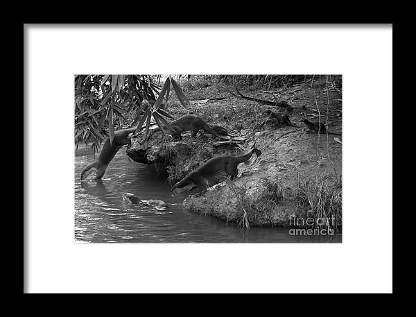 Otters Framed Print featuring the photograph Otters by Gary Bridger