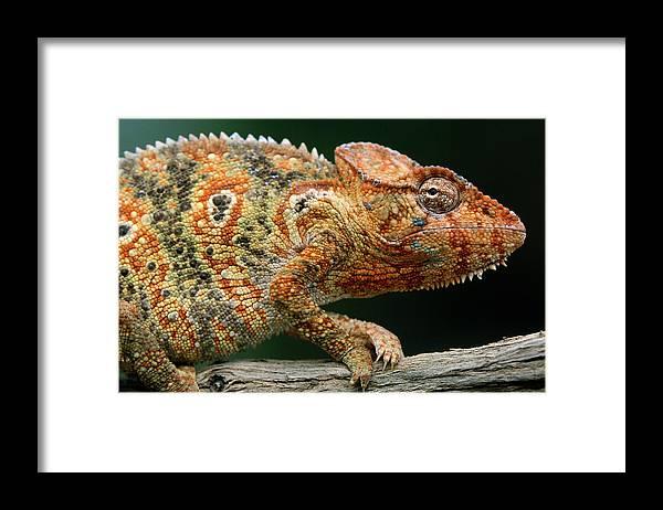 Fn Framed Print featuring the photograph Oustalets Chameleon Furcifer Oustaleti by Ingo Arndt