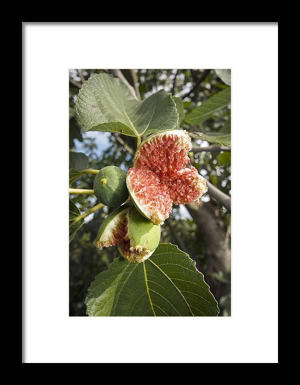 Ficus Carica Framed Print featuring the photograph Over-ripe Figs On A Tree by Paul Harcourt Davies