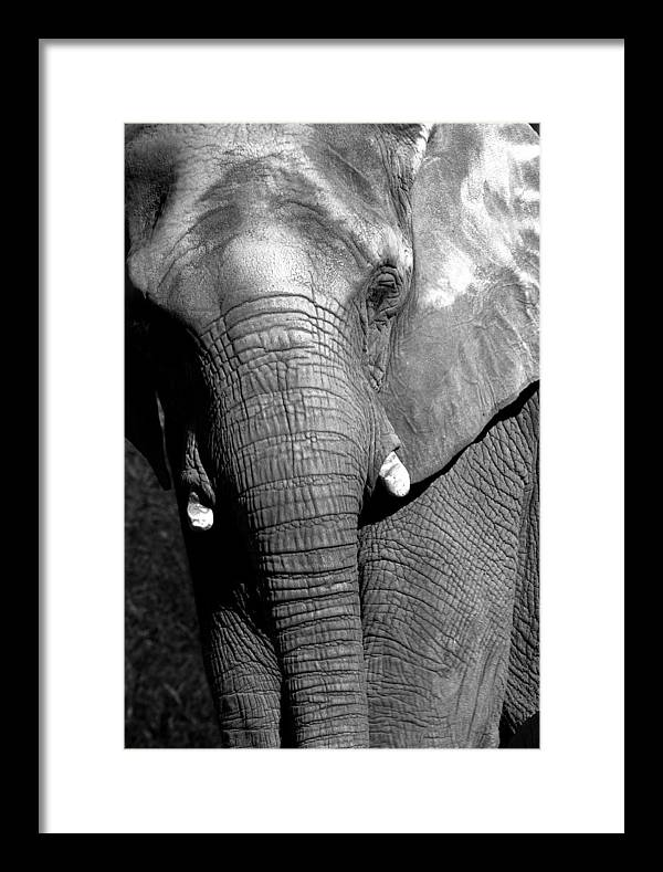Elephant Framed Print featuring the photograph Pachyderm by Rick Mann