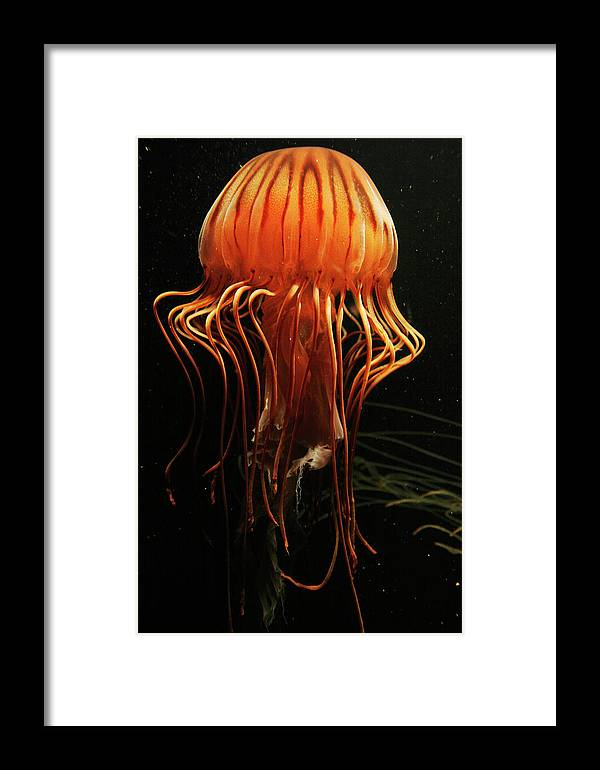 Mp Framed Print featuring the photograph Pacific Sea Nettle Chrysaora by Hiroya Minakuchi