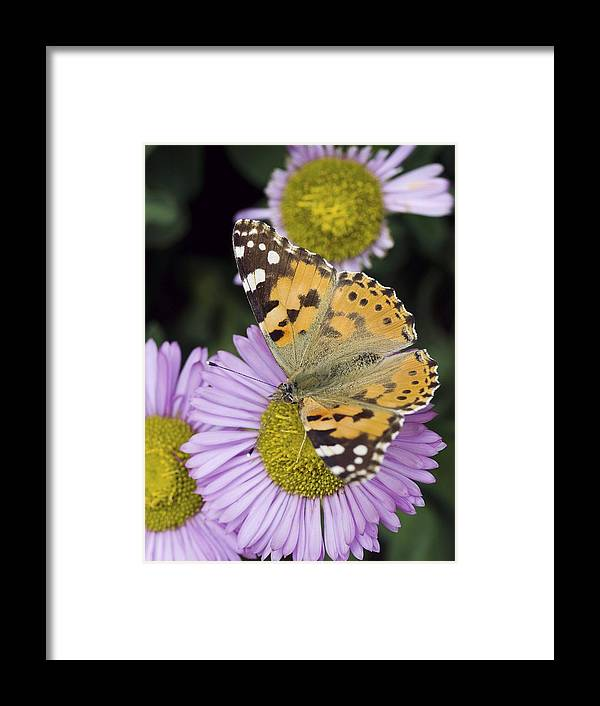 Painted Lady Framed Print featuring the photograph Painted Lady Butterfly by Adrian Bicker