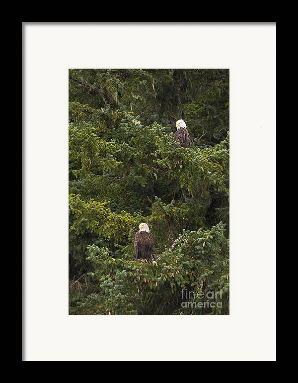 Alaska Framed Print featuring the photograph Pair Of Bald Eagles by Darcy Michaelchuk