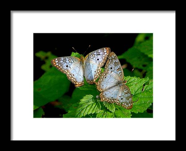 Amazon Framed Print featuring the photograph Pair Of Butterflies by Robert Selin