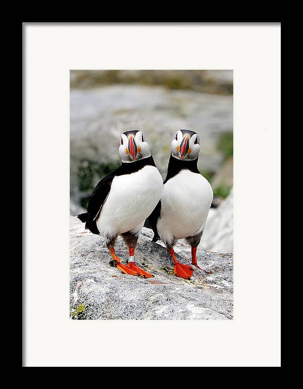 Vertical Framed Print featuring the photograph Pair Of Puffins by Betty Wiley