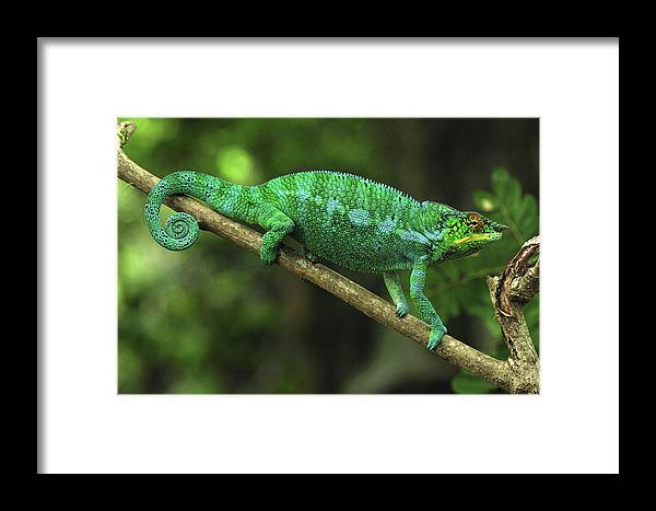 Mp Framed Print featuring the photograph Panther Chameleon Chamaeleo Pardalis by Thomas Marent