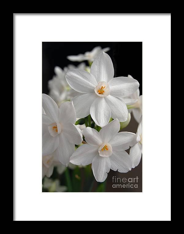 Paperwhite narcissus flower framed print by eva kaufman paperwhite narcissus flower framed print featuring the digital art paperwhite narcissus flower by eva kaufman mightylinksfo