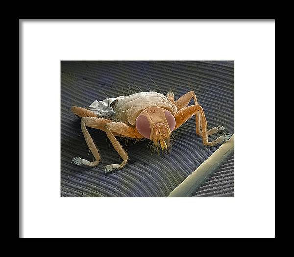 Animal Framed Print featuring the photograph Parasitic Fly, Sem by Power And Syred