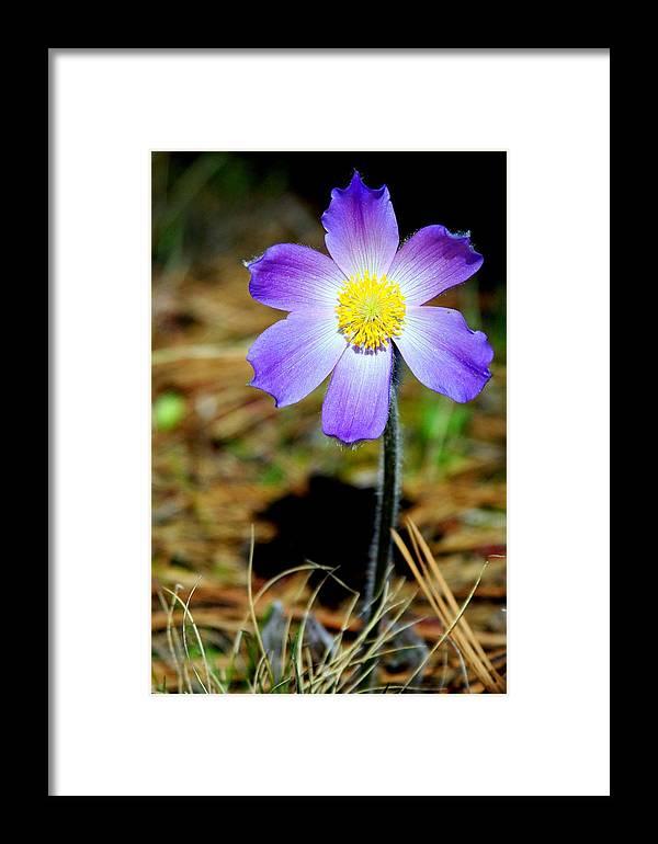 Pasqueflower Framed Print featuring the photograph Pasqueflower by Merle Ann Loman