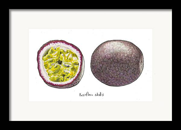 Passionfruit Framed Print featuring the drawing Passiflora Edulis Fruit by Steve Asbell