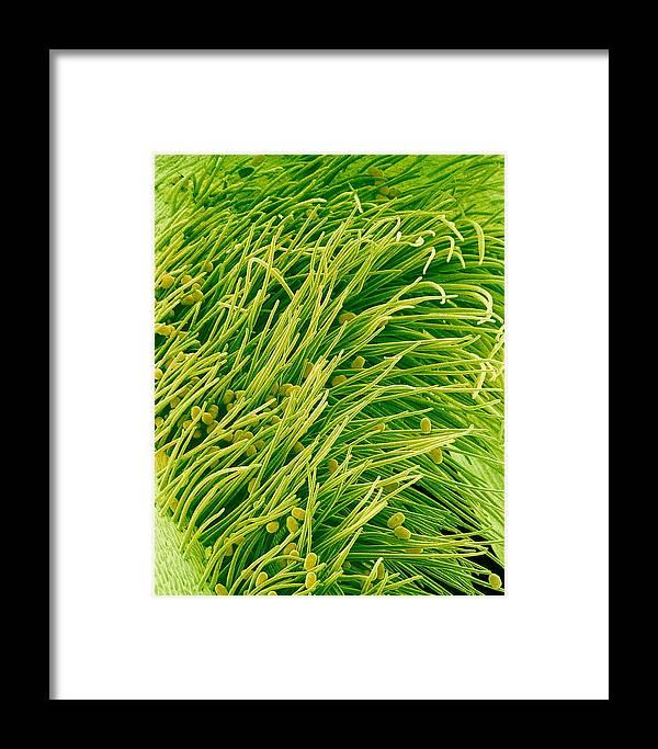 Pisum Sativum Framed Print featuring the photograph Pea Flower Stigma, Sem by Susumu Nishinaga