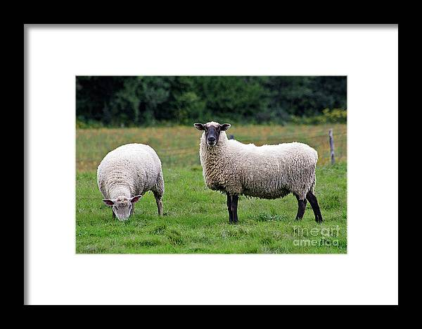 Lamb Framed Print featuring the photograph Peaceful Outlook by Denise Wilkins