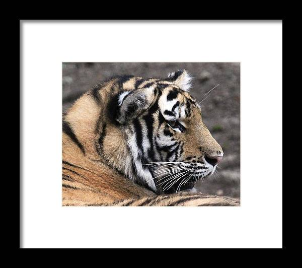 Tiger Framed Print featuring the photograph Peaceful Tiger by Monica Lahr