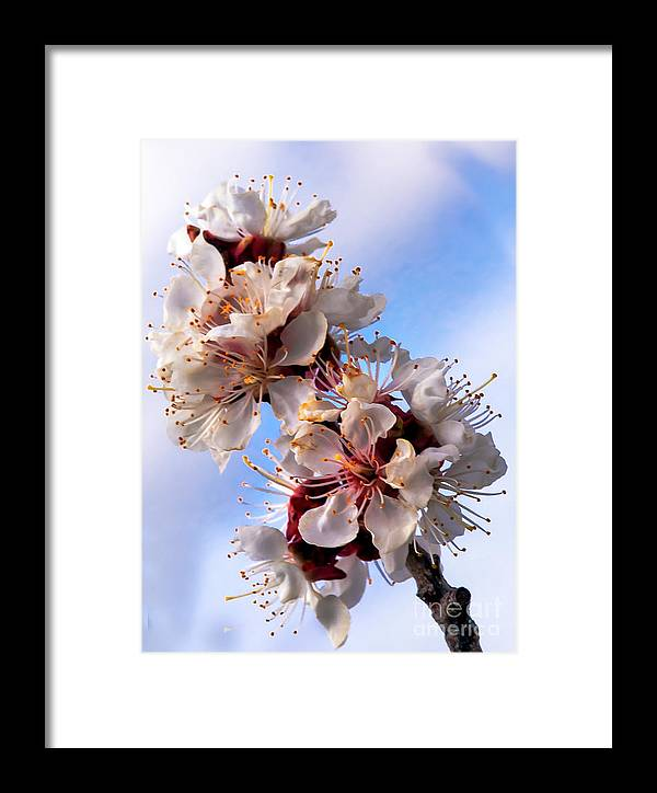 Flowers Framed Print featuring the photograph Peach Blossoms by Robert Bales