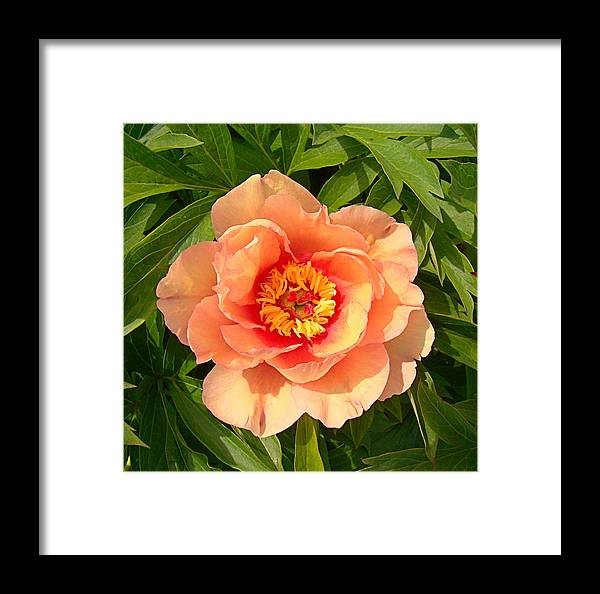 Peony Framed Print featuring the photograph Peachy Blush by Nick Kloepping