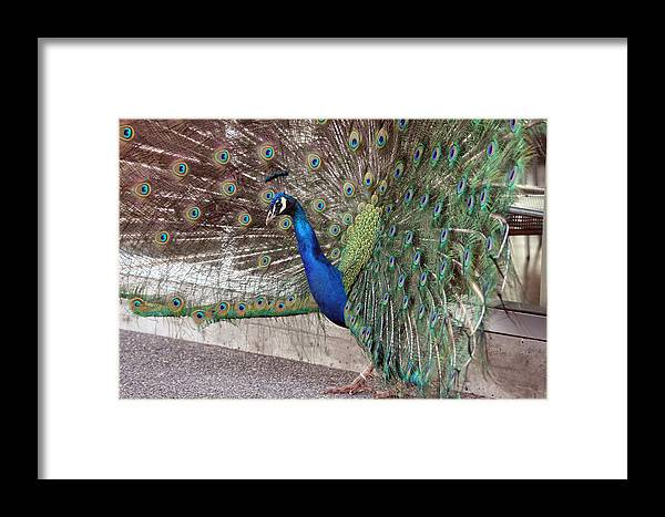 Point Defiance Framed Print featuring the photograph Peacock - 0015 by S and S Photo