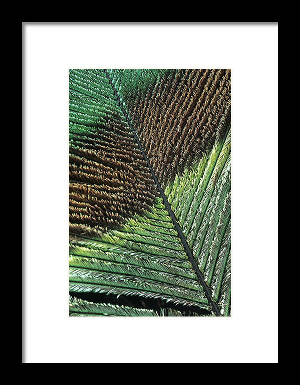 Pavo Cristatus Framed Print featuring the photograph Peacock Feather by Steve Taylor