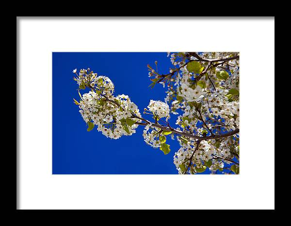 Fine Framed Print featuring the photograph Pear Spring by Chad Dutson