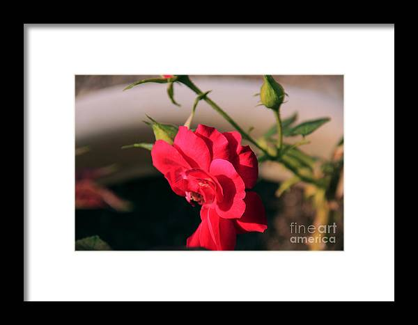 Flowers Framed Print featuring the photograph Peatals by Melissa Hardiman