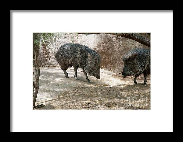 California Framed Print featuring the digital art Peccary by Carol Ailles