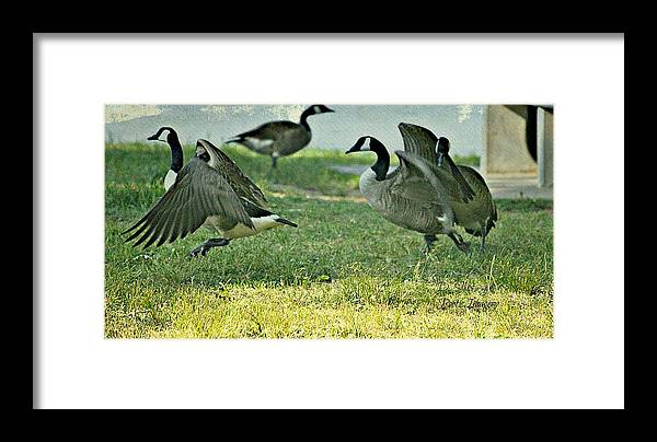 Geese Framed Print featuring the photograph Pecking Order by Debbie Sikes