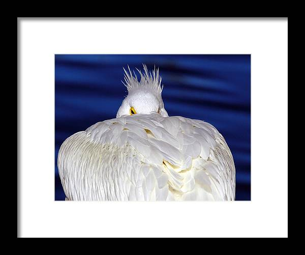 American White Pelican Framed Print featuring the photograph Peekaboo by Andrew McInnes