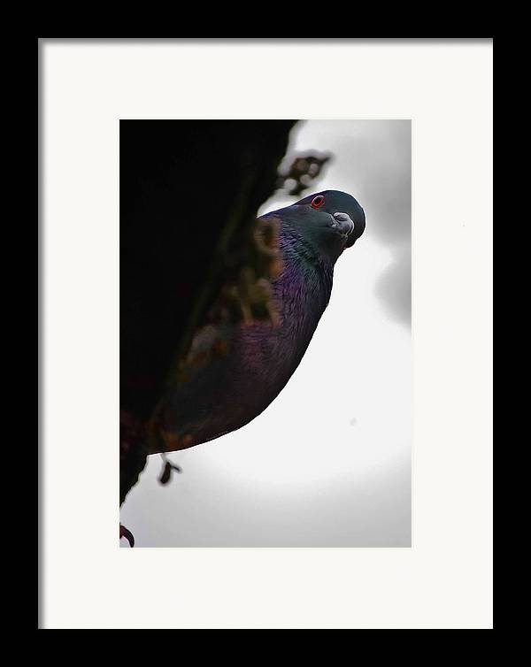 Pigeon Framed Print featuring the photograph Peeking Pigeon by DigiArt Diaries by Vicky B Fuller