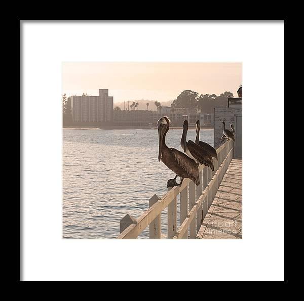 Gang Framed Print featuring the photograph Pelican Gang by Steven Van Gucht