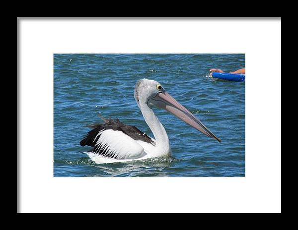 Pelican Framed Print featuring the photograph Pelican by Joyce Woodhouse