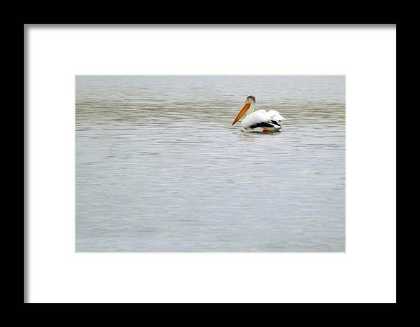 Pelican Photographs Framed Print featuring the photograph Pelican Paradise by C Sitton