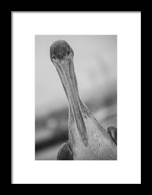 Pelican Framed Print featuring the photograph Pelican by Ralf Kaiser