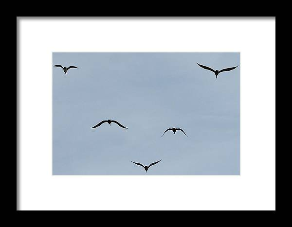 Texas Framed Print featuring the photograph Pelicans In Flight by Lorri Crossno