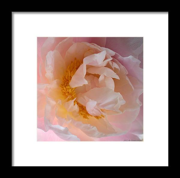 Peony Framed Print featuring the photograph Peony Pink by Penny Hunt