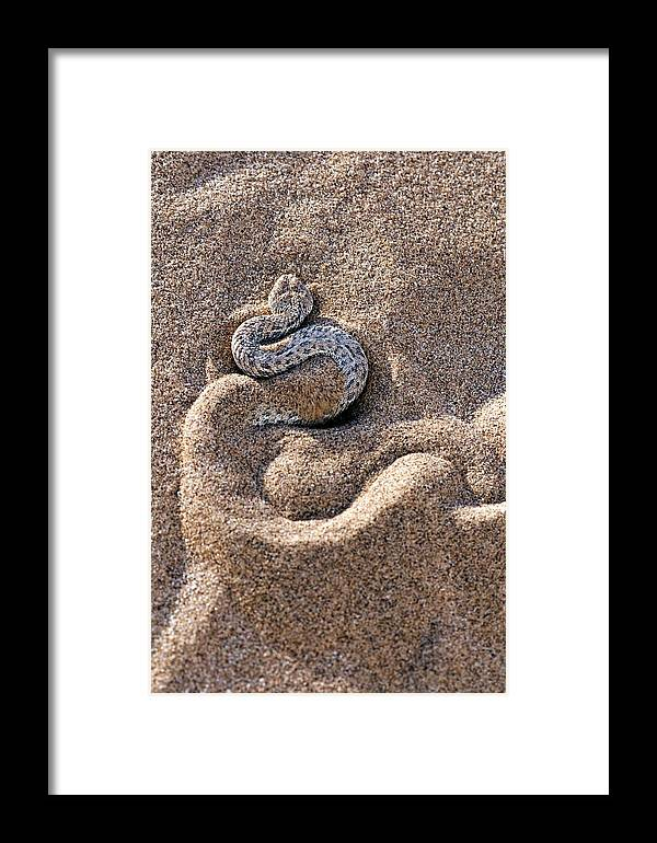 Bitis Peringueyi Framed Print featuring the photograph Peringuey's Adder Burying Itself In Sand by Tony Camacho