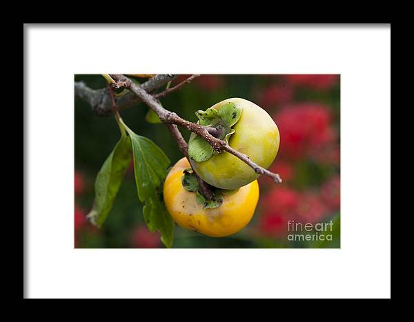 Fall Framed Print featuring the photograph Persimmon by Tad Kanazaki