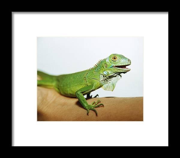 Common Iguana Framed Print featuring the photograph Pet Iguana by Cristina Pedrazzini