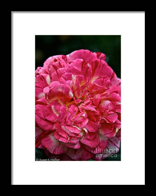 Garden Framed Print featuring the photograph Petals Petals And More Petals by Susan Herber
