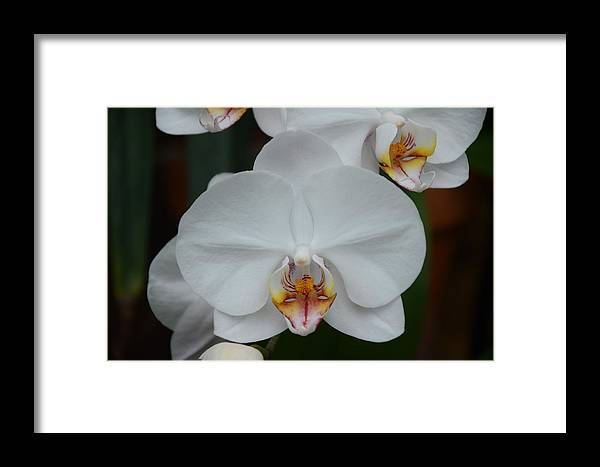 Phalaenopsis Framed Print featuring the photograph Phalaenopsis Orchid by Michael Carrothers