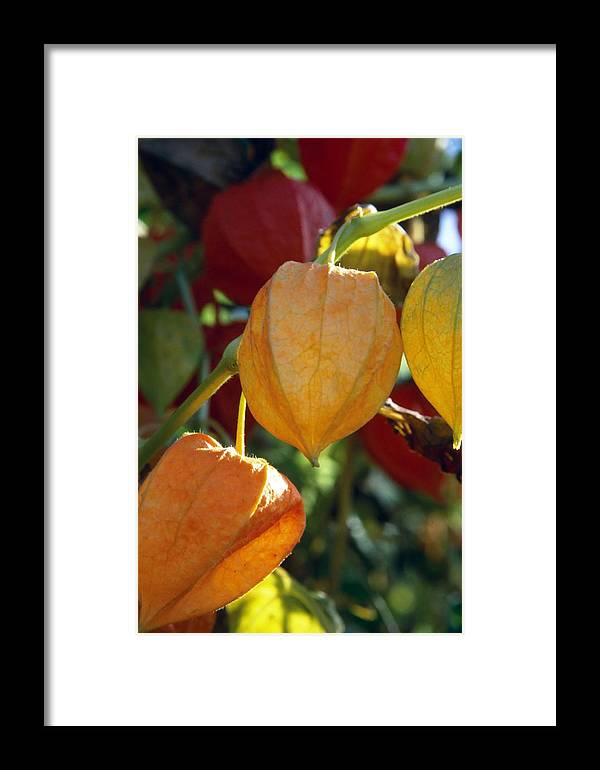 Autumn Framed Print featuring the photograph Physalis by Patrick Kessler