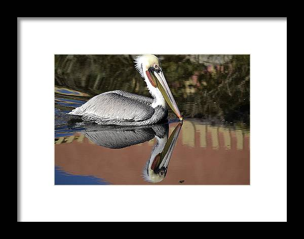 California Brown Pelican Framed Print featuring the photograph Picturesque by Fraida Gutovich