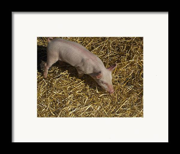 Pig. Piglet. Hoof. Straw. Beacon.snout. Ears. Pink. Tail. Nature. Outdoors. Farm. Animal. Wildlife. Ham. Cooking. Food. Feeding. Roast Pig. Framed Print featuring the photograph Pig. Yummy Roasted by Michael Clarke JP