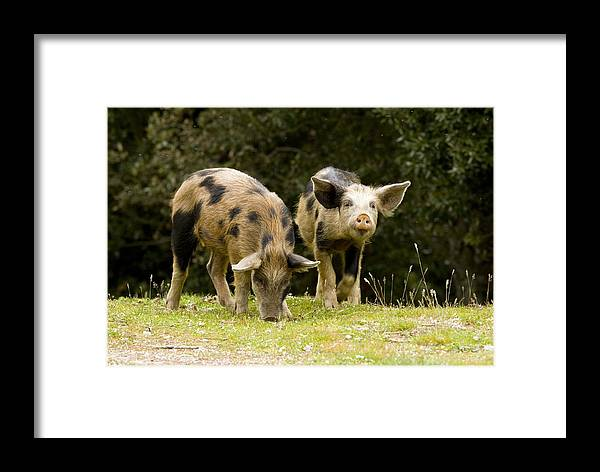 Piglets Framed Print featuring the photograph Piglets Foraging In Woodland by Bob Gibbons