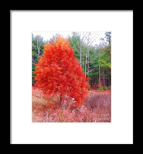 Pin Cypress Framed Print featuring the photograph Pin Cypress by Rrrose Pix