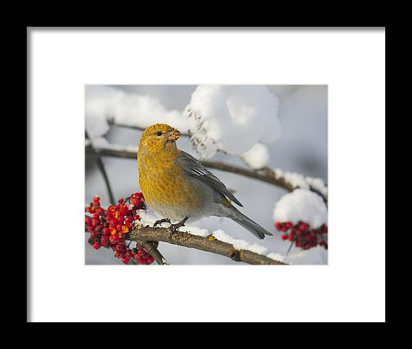 Npl Framed Print featuring the photograph Pine Grosbeak Pinicola Enucleator by Markus Varesvuo