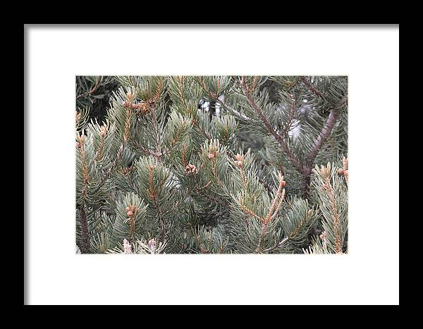 Pine Framed Print featuring the photograph Pine Love by Tricia Janush