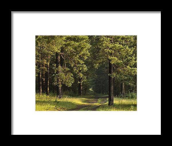 Landscape Framed Print featuring the photograph Pine Trees Forest by Vladimir Kholostykh
