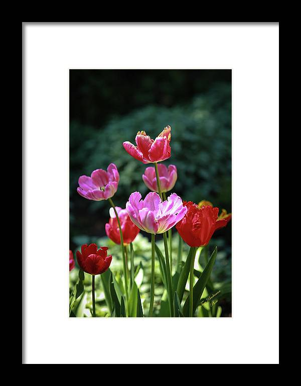 Flowers & Plants Framed Print featuring the photograph Pink And Red Tulips by Tom Buchanan