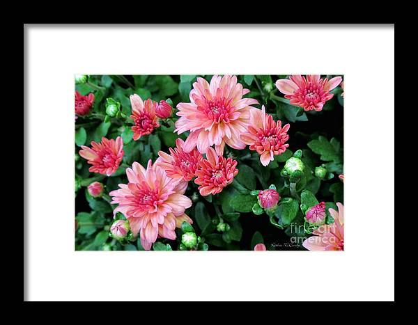 Autumn Framed Print featuring the photograph Pink Autumn Mums by Kathie McCurdy