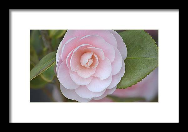 Pink Framed Print featuring the photograph Pink Camellia Flower In Spring by P S