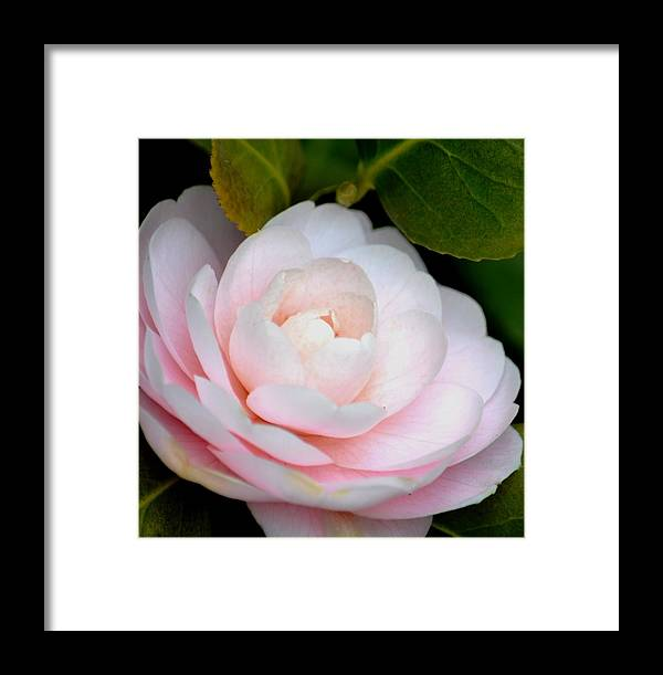 Pink Framed Print featuring the photograph Pink Camellia Flower by P S